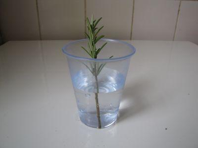 Methode de Reproduction du romarin